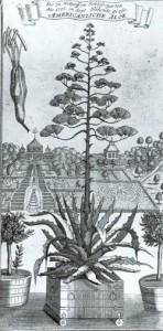 """""""Die zu Gottorff im Schlossgarten Anno 1705 im Sept. blühende große Americhanische Aloe"""". Nicht signierter Kupferstich. Man sieht links den oberen Teil der Terrassenanlage des Neuwerk-Gartens mit der Amalienburg, die als Gemäldegalerie diente, und rechts einen Gartenpavillion"""