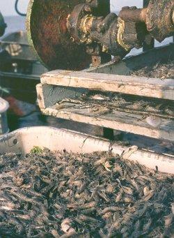 Grau und transparent fallen lebende Krabben aus der Siebmaschine auf einem Krabbenkutter