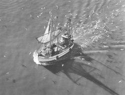 """Heimfahrt des Holzkutters """"Hus 38"""" von Claus Laß jun. Möwen warten auf ihren Anteil am Fang. Die Backbord Baumkurre liegt an Deck"""