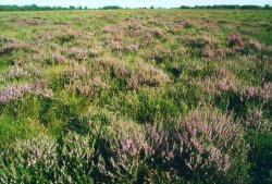 Heideblüte im Weißen Moor bei Blankenmoor. Mit diesem Stadium ist schon der Übergang eines Moores erreicht.